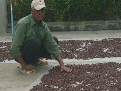 Chuyển diện tích cà phê già cỗi sang trồng ca cao